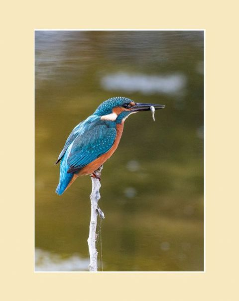 Gone Fishing Kingfisher Print